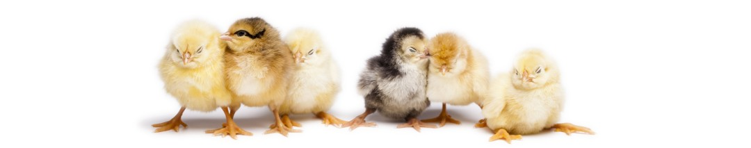 Baby chicks being bred at Hollywater Hens in Hampshire to be sold as point of lay chickens