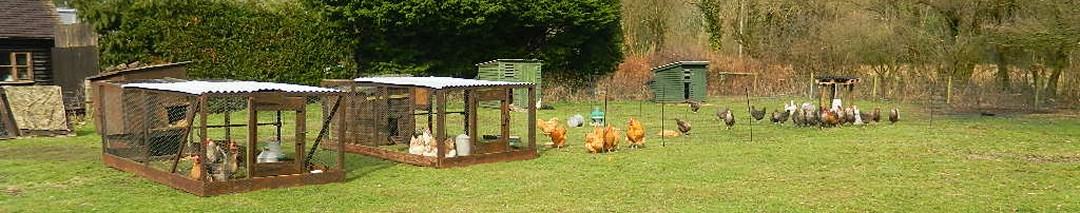 Free range chickens for sale at Hollywater Hens in Hampshire