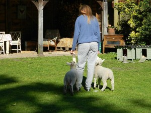 feeding lambs 2