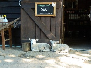 lambs in front of the Hollywater Hens shop