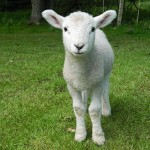 Lamb at Hollywater Hens