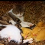 Mother Cat and Baby Ducklings