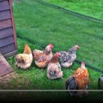 Chickens on the BBC